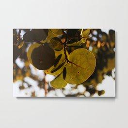 Sea grape leaves  Metal Print