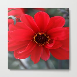 Red Red Dahlia Metal Print