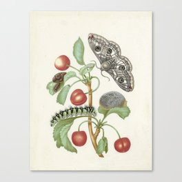 Vintage Botanical Print - Maria Sibylla Merian Canvas Print