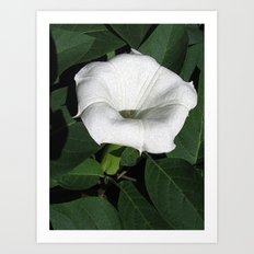 Angel's Trumpet in a Sunny Garden Art Print