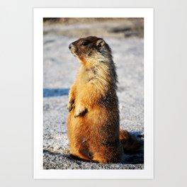 Marmot Belly Art Print