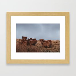Herd of Highland Cows on the Faroe Islands with Calves Framed Art Print