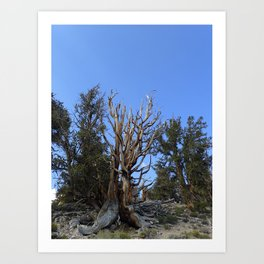 Forest trees 4,000 years old Art Print