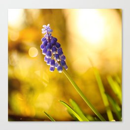 Beautiful Spring Muscari Bokeh background  #decor #society6 #homedecor Canvas Print