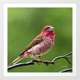 Finch in the Rain Art Print