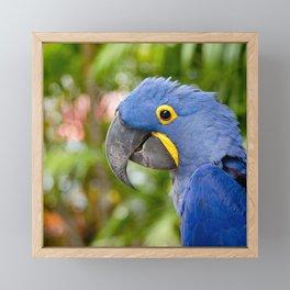 Blue Hyacinth Macaw - Anodorhynchus hyacinthinus Framed Mini Art Print