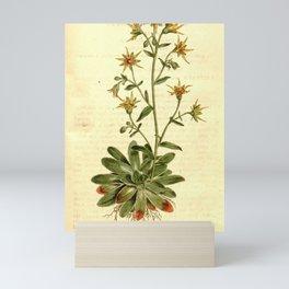 Flower 351 saxifraga mutata Saffron coloured Saxifrage19 Mini Art Print