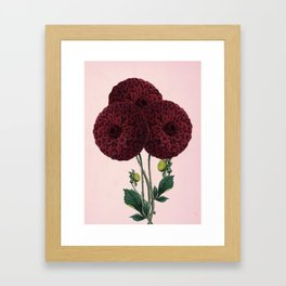 Dark red burnet flower on pink Framed Art Print