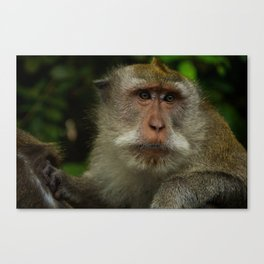 Monkey at the Ubud Monkey Forest Canvas Print