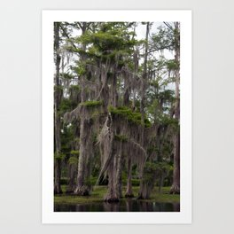 CypressTree and Witch's Hair in Spring Art Print