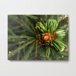 Spruce from top Metal Print