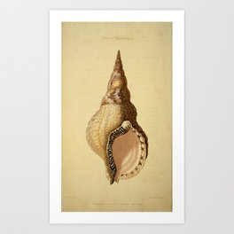 Vintage Print - Arcana or The Museum of Natural History (1811) - Septa Tritonia Shell Art Print