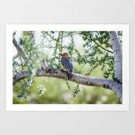 Gila Woodpecker Wildlife Photography Art Print