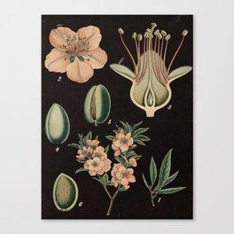 Botanical Almond Canvas Print