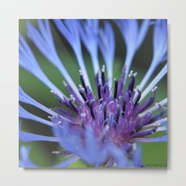 Mountain Knapweed Metal Print