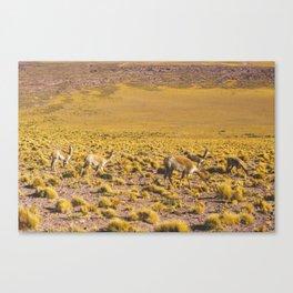 Vicuñas in the Desert, San Pedro de Atacama, Chile Canvas Print