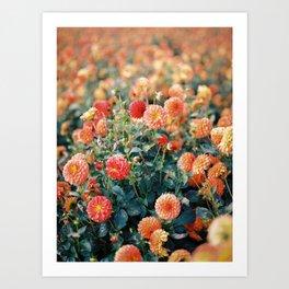 Field of dahlias Art Print