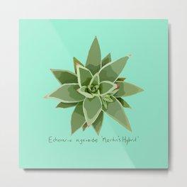 Succulent Species Echeveria agavoides 'Martin's Hybrid' Turquoise Metal Print