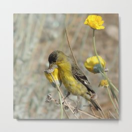 Mr. Lesser Goldfinch Feeds on Seeds Metal Print