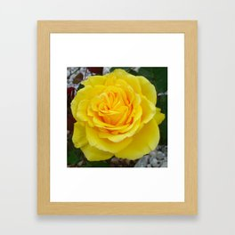 Head On View Of A Yellow Rose With Garden Background Framed Art Print