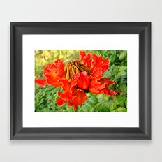 The African Tulip Tree Framed Art Print