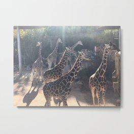Giraffe National Park // Spotted Long Neck Graceful Creatures in Wildlife Preserve Metal Print