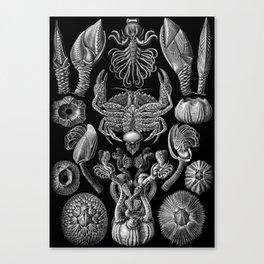 Ernst Haeckel Cirripedia Barnacles Crabs Canvas Print