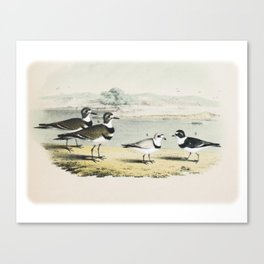 PLATE XL The Killdeer Plover The piping Ringed Plover The Semi-palmated, Ring, or Ring-neck Plover Canvas Print