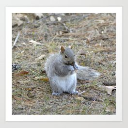 Gray Squirrel Munching on Pine Cones Art Print