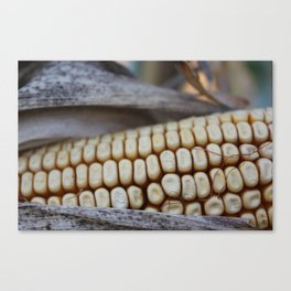 Corn of fall Canvas Print