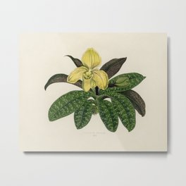 The One Colored Paphiopedilum (Paphiopedilum Concolor) engraved by Benjamin Fawcett (1808-1893) for Metal Print