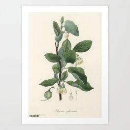 Vintage Botanical Print - 1836 - Styrax (Styrax officinalis) Art Print