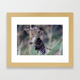 Butterfly emerging from cocoon Framed Art Print