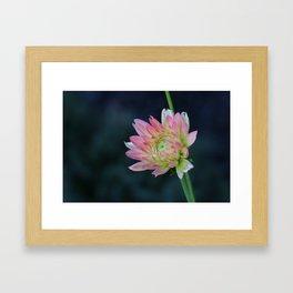 Light pink dahlia tentative to bloom Framed Art Print