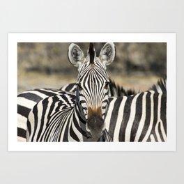 Curious Burchell's Zebra Art Print