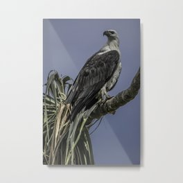 White-Bellied Sea Eagle Metal Print