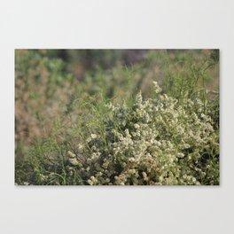 Closeup White Desert Wildflowers Desert Oasis Coachella Valley Wildlife Preserve Canvas Print