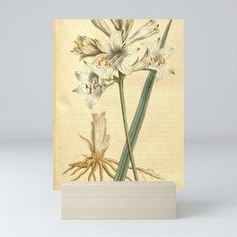 Flower 318 anthericum liliastrum Savoy Anthericum or St Bruno's Lily19 Mini Art Print