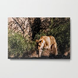 Prowling Lioness Metal Print