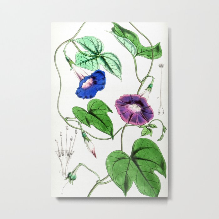 A Purging Pharbitis Vine in full blue and purple bloom - Vintage illsutration Metal Print