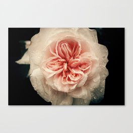 WET PINK ROSE BLOSSOM Canvas Print