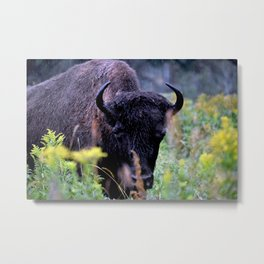 Rainy day with Bison Metal Print