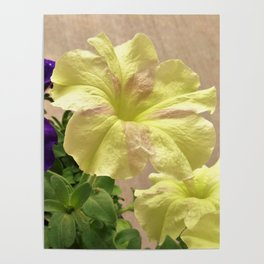Dreams and Sophistica Petunias Poster