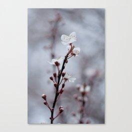 Cherry Blossom Bloom. Canvas Print