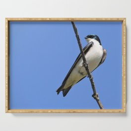 Handsome Male Tree Swallow on a Branch Serving Tray