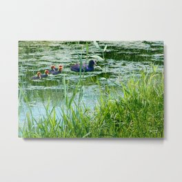 Coot with young ones Metal Print