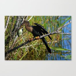 A Darters Meal Canvas Print