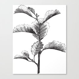 Cut Leaved Alder Canvas Print