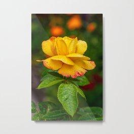 Garden Rose Metal Print