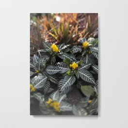 Zebra Plant  //  The Botanical Series Metal Print